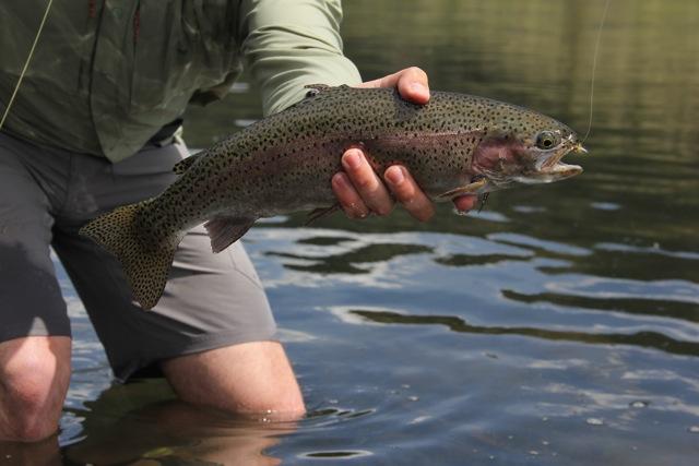 Montana Fly-Fishing - Missouri River Rainbow