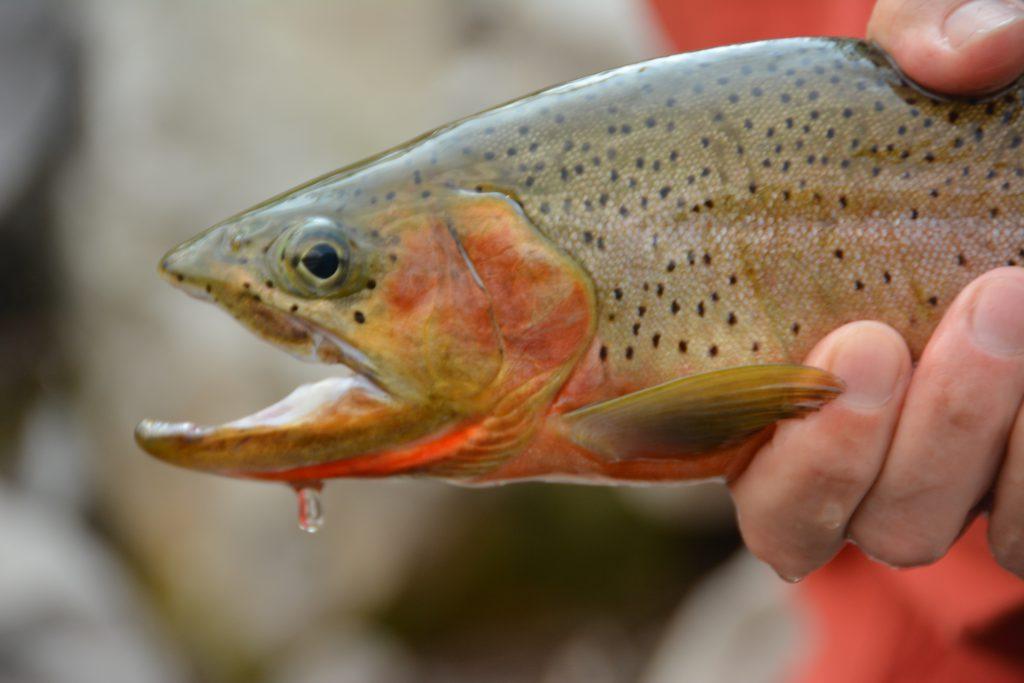 Elk River Cutthroat