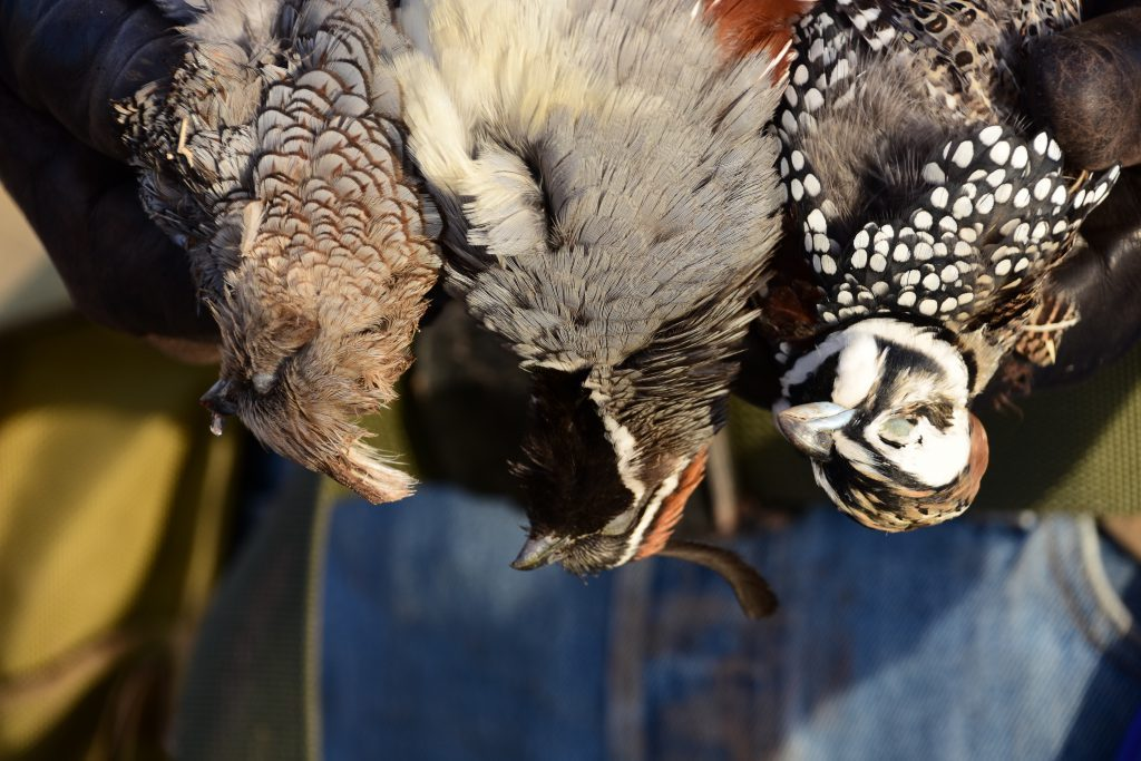 Arizona Grand Slam Scaled,Gambels and Mearns Quail