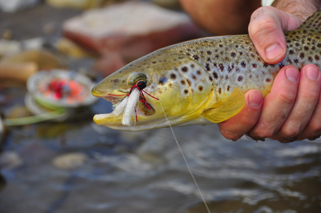 Southern Alberta Brown Trout