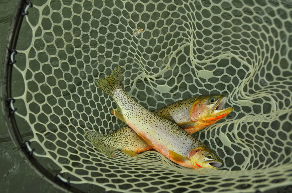 Elk River Cutthroats