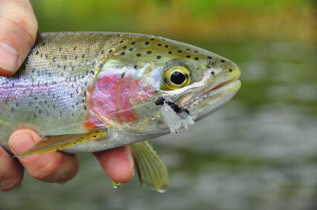 Slocan River Rainbow