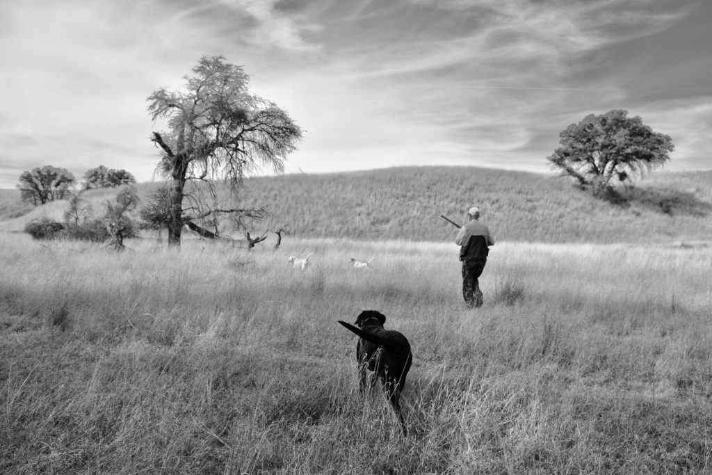 a labrador retreiver moves in the flush quail in arizona