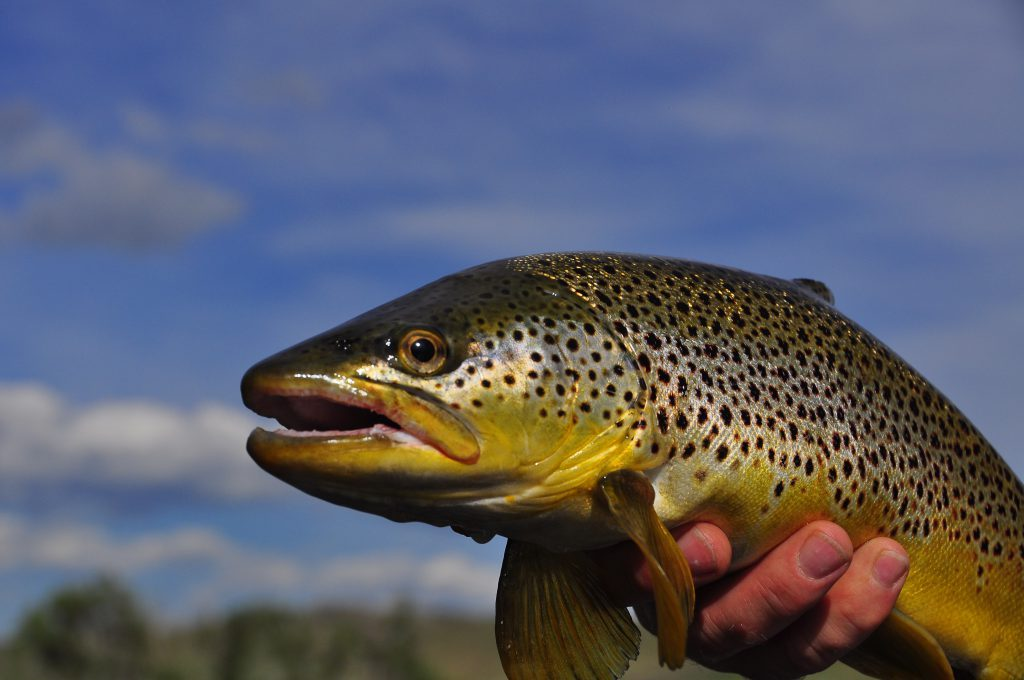 Missouri river Montana Brown Trout caught on a guided fly-fishing trip