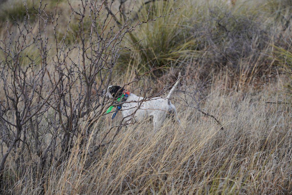An English Pointer finds Arizona Gambels Quail
