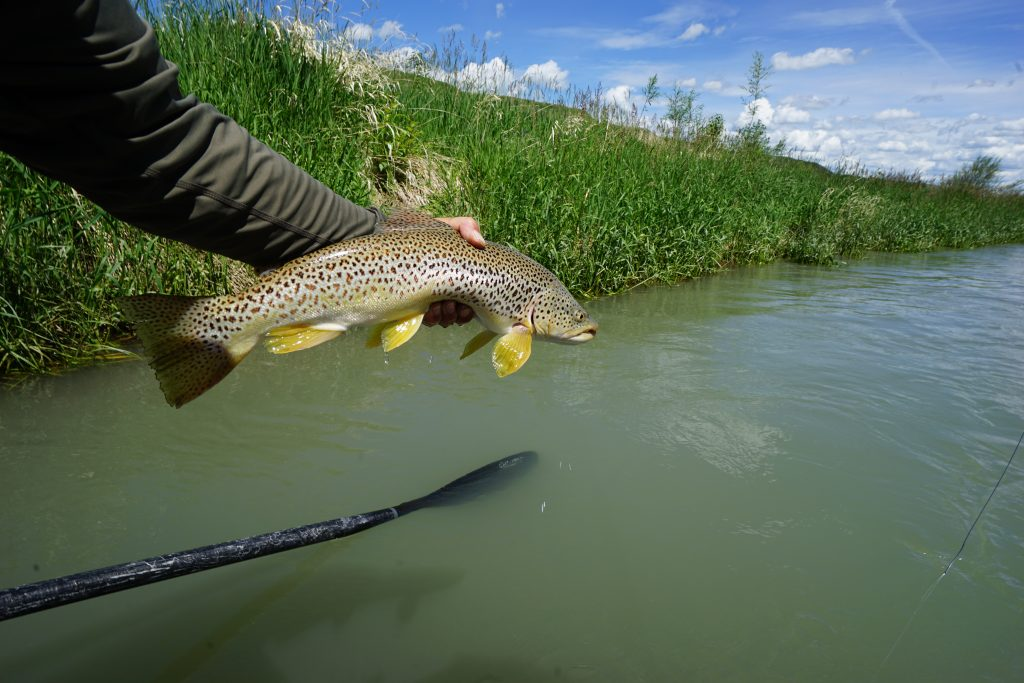 A bow river brown trout caught while on a guided bow river fly-fishing trip with dave brown outfitters