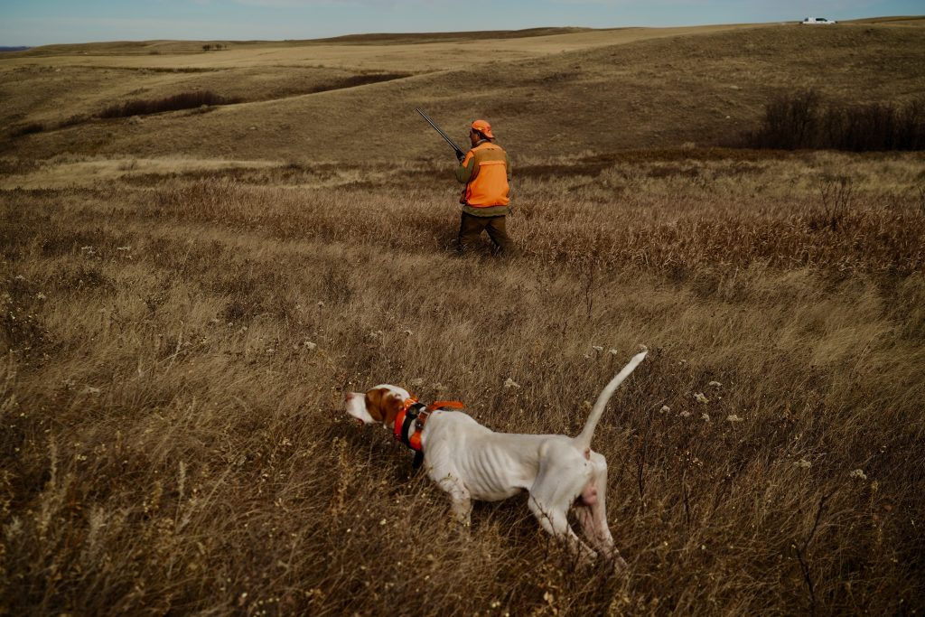 An English Pointer points Saskatchewan Sharptail Grouse