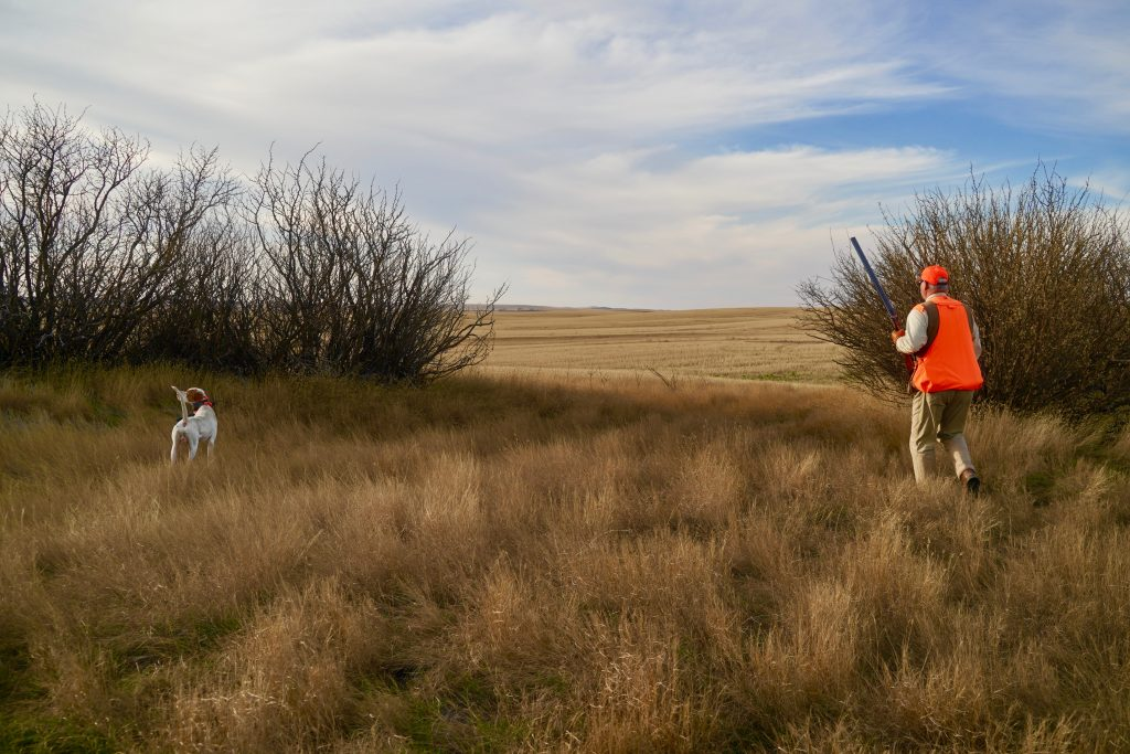 An english pointer points a covey of Saskatchewan Hungarian partridge
