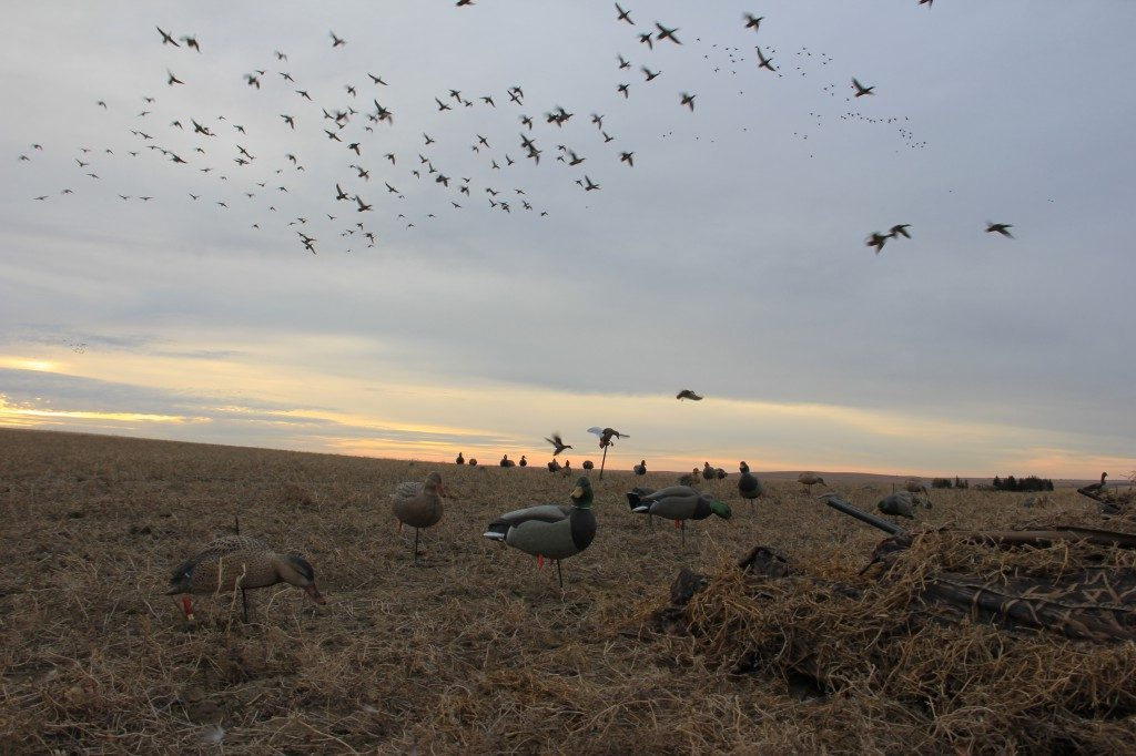 Ducks fly into a field decoy spread in Saskatchewan