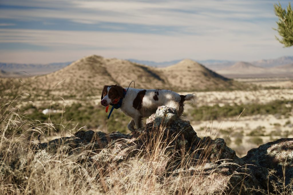 A Brittan ySpaniel points Mearns Quail in Arizona