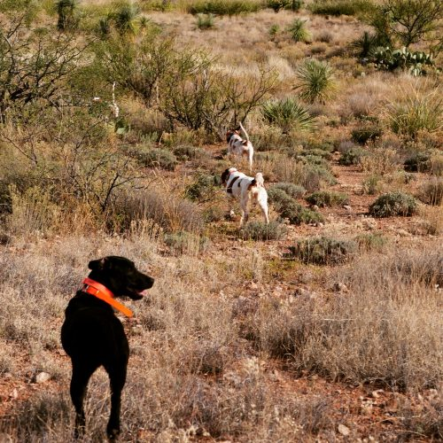 pointing dogs point gambels quail in Arizona