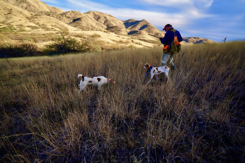 Two Dogs point Mearns Quail in Arizona