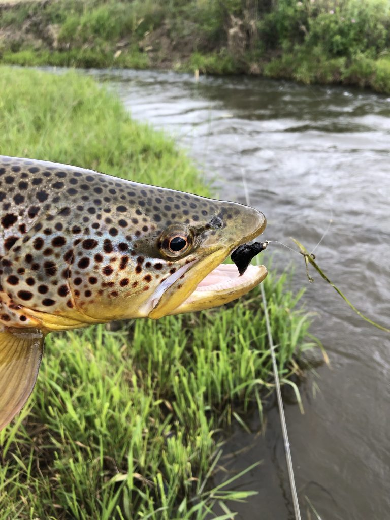 A brown trout that ate a leach pattern
